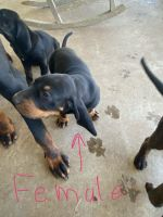 Black and Tan Coonhound Puppies for sale in Huntsville, TX, USA. price: NA