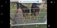Black and Tan Coonhound Puppies for sale in Ormond Beach, FL, USA. price: NA