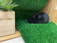 Black Jackrabbit Rabbits Photos