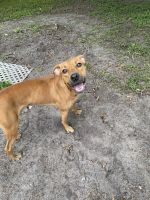 Black Mouth Cur Puppies for sale in Oviedo, FL, USA. price: NA