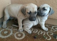Black Mouth Cur Puppies for sale in Seattle, WA 98103, USA. price: NA
