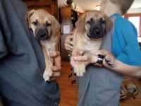 Black Mouth Cur Puppies for sale in Burke, NY 12917, USA. price: NA