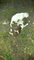 Black Mouth Cur Puppies Photos