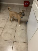 Black Mouth Cur Puppies for sale in Lehigh Acres, FL, USA. price: NA