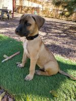 Black Mouth Cur Puppies for sale in Colorado Springs, CO, USA. price: NA