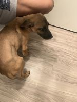Black Mouth Cur Puppies for sale in Athens, TX, USA. price: NA