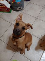 Black Mouth Cur Puppies for sale in Copperas Cove, TX 76522, USA. price: NA