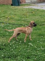 Black Mouth Cur Puppies for sale in Lebanon, TN, USA. price: NA