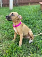 Black Mouth Cur Puppies for sale in Arlington, TX, USA. price: NA
