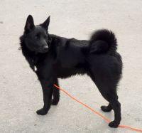black norwegian elkhound dog