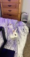 Blanc de Hotot Rabbits Photos