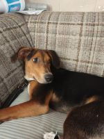 Bloodhound Puppies for sale in Payette, ID 83661, USA. price: NA