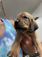Bloodhound Puppies for sale in Fort Branch, IN 47648, USA. price: NA