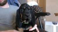 Bloodhound Puppies for sale in Rialto, CA, USA. price: NA