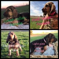 Bloodhound Puppies for sale in Madisonville, KY 42431, USA. price: NA