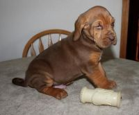 Bloodhound Puppies for sale in Green Bay, WI, USA. price: NA