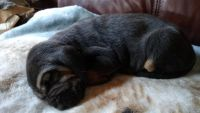 Bloodhound Puppies for sale in Aurora, IN, USA. price: NA