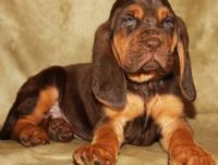 Bloodhound Puppies for sale in Baltimore, MD, USA. price: NA