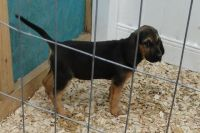 Bloodhound Puppies for sale in Beaumont, TX, USA. price: NA