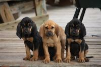 Bloodhound Puppies for sale in Kansas City, KS, USA. price: NA