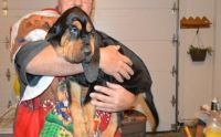 Bloodhound Puppies for sale in Buffalo, NY, USA. price: NA