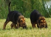 Bloodhound Puppies for sale in St. Louis, MO, USA. price: NA