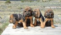 Bloodhound Puppies for sale in Dallas, TX, USA. price: NA