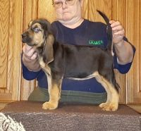 Bloodhound Puppies for sale in Omaha, NE, USA. price: NA