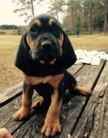 Bloodhound Puppies for sale in Delaware City, DE, USA. price: NA