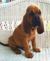 Bloodhound Puppies for sale in El Cajon, CA, USA. price: NA