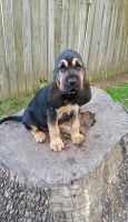 Bloodhound Puppies for sale in Philadelphia, PA, USA. price: NA