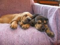 Bloodhound Puppies for sale in Georgetown, GA, USA. price: NA