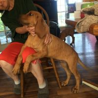 Bloodhound Puppies for sale in Elizabethtown, KY, USA. price: NA
