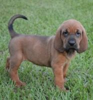 Bloodhound Puppies for sale in Des Moines, IA, USA. price: NA