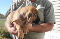 Bloodhound Puppies for sale in St Pete Beach, FL, USA. price: NA