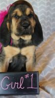 Bloodhound Puppies for sale in Amherst, NH 03031, USA. price: NA