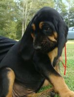 Bloodhound Puppies for sale in Pearson, GA 31642, USA. price: NA