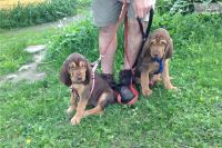 Bloodhound Puppies for sale in Seattle, WA 98103, USA. price: NA