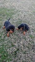 Bloodhound Puppies for sale in Caldwell, TX 77836, USA. price: NA