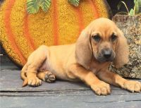 Bloodhound Puppies for sale in Houston, TX, USA. price: NA