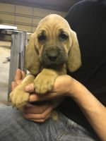 Bloodhound Puppies for sale in Farmer City, IL 61842, USA. price: NA