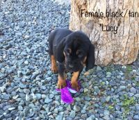 Bloodhound Puppies for sale in Broadway, NC, USA. price: NA