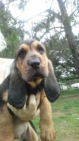 Bloodhound Puppies for sale in Eastpoint, FL 32328, USA. price: NA