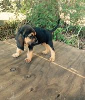 Bloodhound Puppies for sale in Massachusetts Ave, Cambridge, MA, USA. price: NA