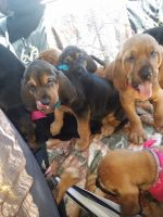 Bloodhound Puppies for sale in Kingwood, WV 26537, USA. price: NA