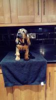 Bloodhound Puppies for sale in Atlanta, GA, USA. price: NA