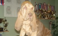 Bloodhound Puppies for sale in 11822 Valley Lake Rd, Waldron, AR 72958, USA. price: NA