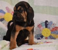 Bloodhound Puppies for sale in San Diego, CA, USA. price: NA