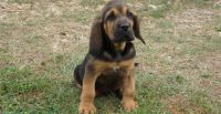 Bloodhound Puppies for sale in Georgetown, KY 40324, USA. price: NA