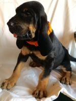 Bloodhound Puppies for sale in Orlando, FL, USA. price: NA